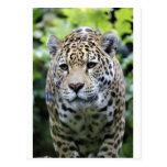 Puma del leopardo de Jaguar Postales