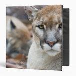 Puma, león de montaña, pantera de la Florida, puma