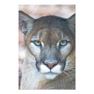 Puma, león de montaña, pantera de la Florida, puma Fotografía