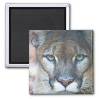 Puma, león de montaña, pantera de la Florida, puma Imanes Para Frigoríficos