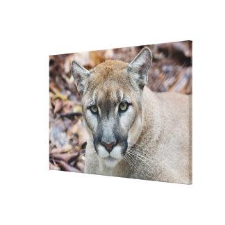 Puma, león de montaña, pantera de la Florida, puma Impresion De Lienzo