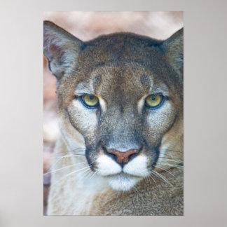 Puma, león de montaña, pantera de la Florida, puma Posters