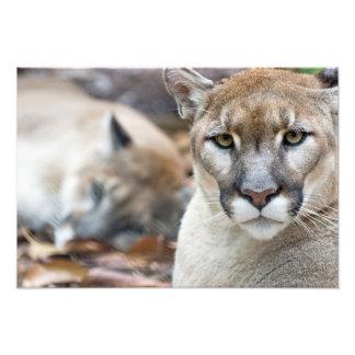 Puma león de montaña pantera de la Florida puma Impresión Fotográfica