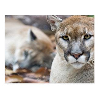 Puma, león de montaña, pantera de la Florida, puma Postal