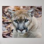 Puma, león de montaña, pantera de la Florida, puma Póster
