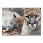 Puma, león de montaña, pantera de la Florida, puma Tarjetas