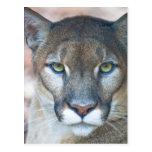 Puma, león de montaña, pantera de la Florida, puma Tarjetas Postales