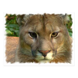 Puma Mountain Cat Postcard