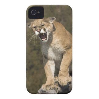 Puma or mountain lion, puma concolor, Captive - iPhone 4 Cover