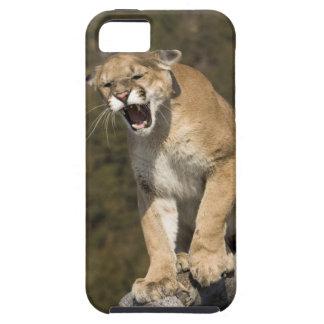Puma or mountain lion, puma concolor, Captive - iPhone SE/5/5s Case
