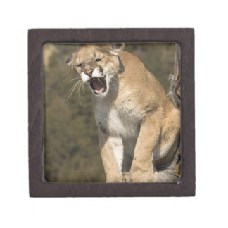 Puma or mountain lion, puma concolor, Captive - Jewelry Box
