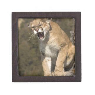 Puma or mountain lion, puma concolor, Captive - Jewelry Box