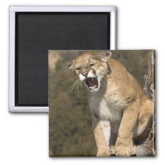 Puma or mountain lion, puma concolor, Captive - 2 Inch Square Magnet