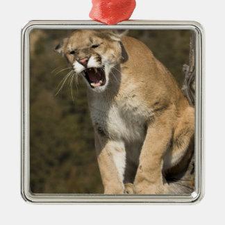 Puma or mountain lion, puma concolor, Captive - Metal Ornament