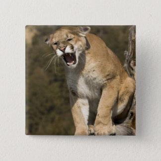 Puma or mountain lion, puma concolor, Captive - Pinback Button