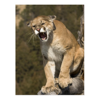 Puma or mountain lion, puma concolor, Captive - Postcard