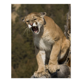 Puma or mountain lion puma concolor Captive - Poster