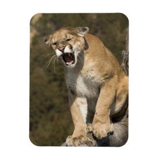 Puma or mountain lion, puma concolor, Captive - Rectangular Photo Magnet