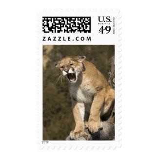 Puma or mountain lion, puma concolor, Captive - Stamps