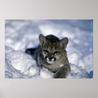 Puma-pequeño cachorro en nieve posters