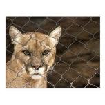 Puma...with Attitude! Post Cards