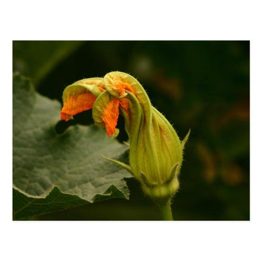 Pumpkin Blossom Postcard