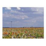 pumpkin patch landscape postcard