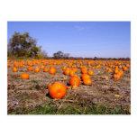 Pumpkin Patch-postcard Postcard