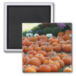 Pumpkins and Mums Autumn Harvest Photography Magnet