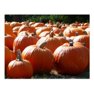 Pumpkins Photo for Fall, Halloween or Thanksgiving Postcard