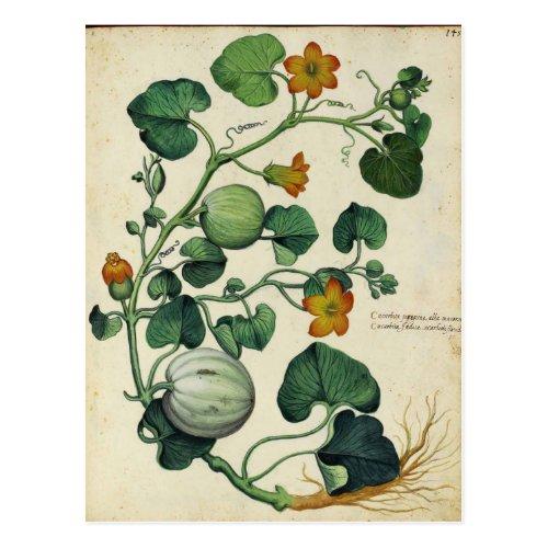 Pumpkins Squash Vintage Botanical Print Postcard