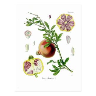 Punica granatum (Pomegranate) Postcard