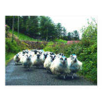Punk Sheep on the Beara Peninsula Ireland Postcard