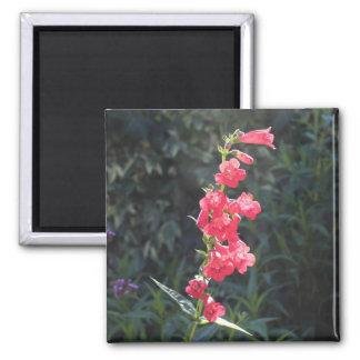 Puntilla rosada Sunlit de la flor del Penstemon Imán Cuadrado