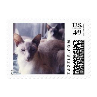 Punto azul de los gatos siameses siamés en la envio
