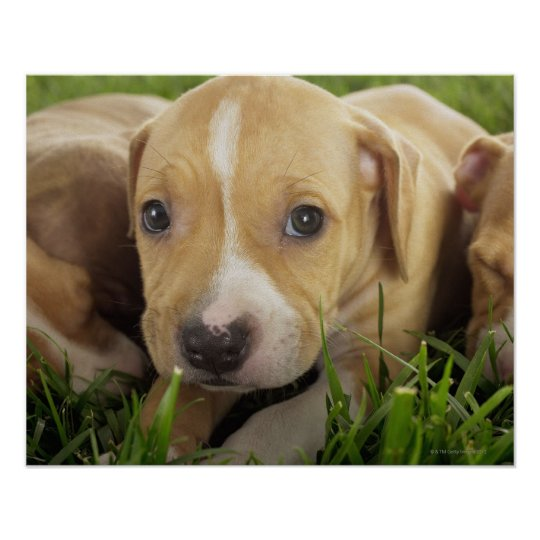 Puppies laying in grass poster