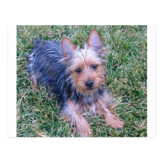 puppy australian silky terrier laying.png postcard