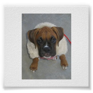 puppy Boxer_in_winter_coat.png Poster