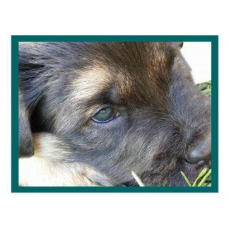 Puppy Eyes Postcards