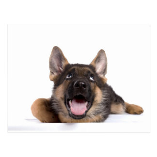 puppy german sheperd post card