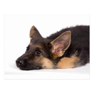 puppy german sheperd postcards