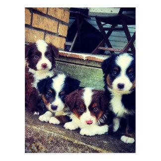 Puppy Love - Adorable  Australian Shepherds Post Card