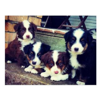 Puppy Love - Adorable  Australian Shepherds Post Cards