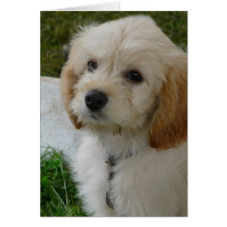 Puppy Love - Cute MaltiPoo Dog Photo Greeting Cards