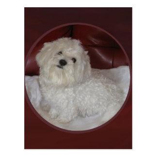 Puppy Love Maltese on Burgundy Postcard