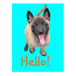 puppy malinois post cards
