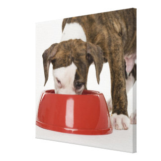 Puppy pitbull eating out of dish canvas print