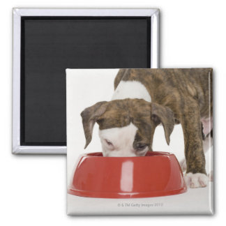 Puppy pitbull eating out of dish 2 inch square magnet
