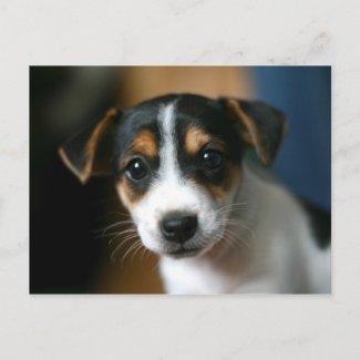 Puppy Postcard - Jack Russell Terrier postcard