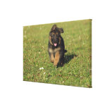 Puppy Running Gallery Wrapped Canvas